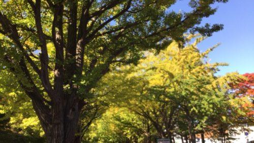 北海道大学 紅葉 銀杏並木 見頃と時期