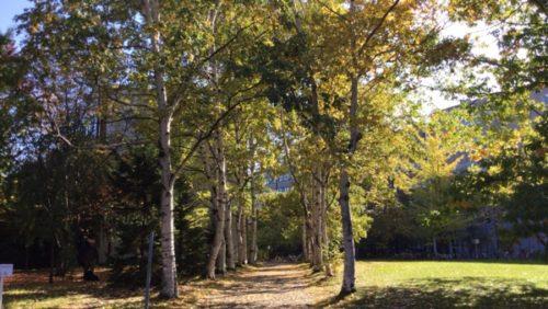 北海道大学観光 北大の銀杏並木見頃 紅葉・黄葉の時期おすすめは? 1