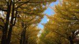 北海道大学観光 北大の銀杏並木見頃 紅葉・黄葉の時期おすすめは? 5