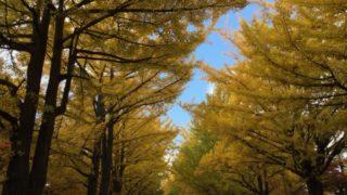 北海道大学観光 北大の銀杏並木見頃 紅葉・黄葉の時期おすすめは? 4